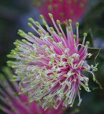 native australian plants banksia cuneata wikipedia