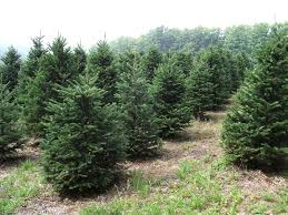 forest view evergreen tree farms wholesale information