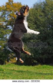 australian shepherd black australian shepherd black tri dog boots injured injury stock