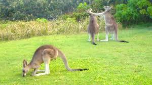 wrestling kangaroos youtube