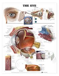Surface Anatomy Eye Best 20 Diagram Of The Eye Ideas On Pinterest Gods Eye Black