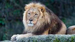 male lion wallpapers roaring lion wallpaper hd 1080p smokescreen