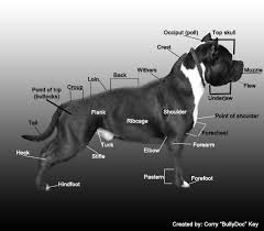american pit bull terrier vs american staffordshire terrier 305 best g bees images on pinterest animals pit bulls and dogs