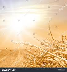 crop field soft gold colors vintage stock illustration 307725494