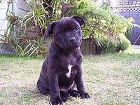 2 month old american pitbull terrier staffordshire bull terrier wikipedia
