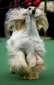 afghan hound national dog show 37 best afghan hounds images on pinterest afghan hound afghans