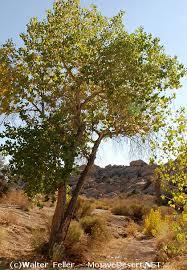 Cottonwood Tree Flowers - fremont u0027s cottonwood tree