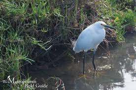 the metropolitan field guide tijuana estuary visitor center native