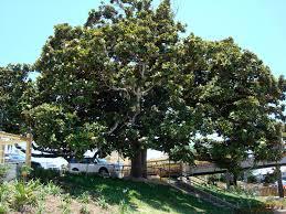 magnolia tree destin harbor destin florida art pinterest
