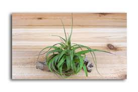 the most incredibly ignored answer for large air plants