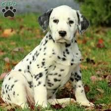 dalmatian puppies sale dalmatian breed profile greenfield