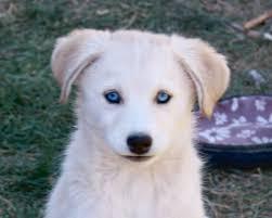upcoming litters xanadu dogs