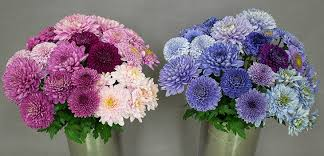 Picture Of Mums The Flowers - borrowed genes give mums the blues science news