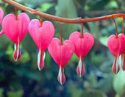 bleeding heart flower best perennial flowers for your garden picture perennials