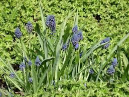 bellevalia pycnantha william u0027s featured family hyacinthaceae