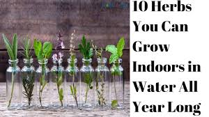 Herbs Indoors by 10 Herbs You Can Grow Indoors In Water All Year Long Youtube
