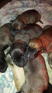 belgian shepherd breeders south africa belgian malinois puppies bloemfontein gumtree classifieds