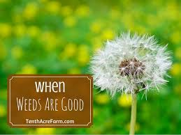 5 weeds you want in your garden tenth acre farm