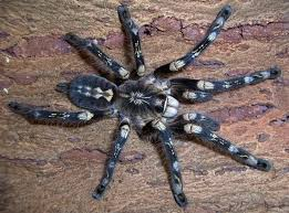 poecilotheria subfusca 0 1 wishlist insects spiders