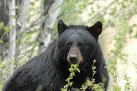 Washington wildlife images Bear baiting exposing the big game jpg