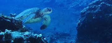 maui turtle watch snorkel adventure swim with sea turtles