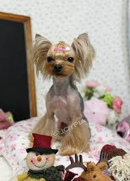 joypia yorkshire haircuts 13 best projects to try images on pinterest yorkie yorkie