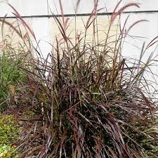 south central gardening ornamental grasses