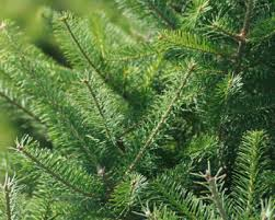 popular christmas tree varieties which one is right for you
