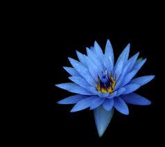 blue flowers wallpaper dahlia flowers blue flowers hd background