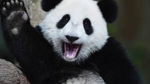 panda meme youtube