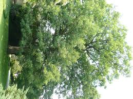 White Oak Create A Living Legacy Plant An Oak Backyardsfornature Org