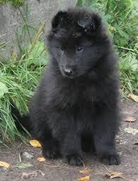 belgian sheepdog training groenendael u2013 black belgian shepherd groenendael pinterest