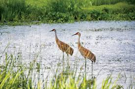sandhill cranes will soon be migrating over chicago chicago