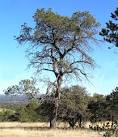 Image result for Pinus cembroides