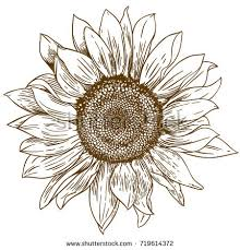royalty free hand drawn sunflowers sketch of a u2026 312377954 stock