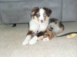 australian shepherd quad cities miniaussiesofiowa com docked tales farm home