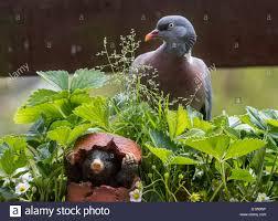 mole figurine hiding in broken flowerpot from common wood pigeon