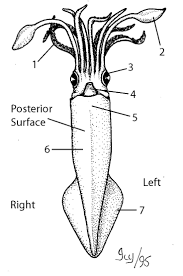 lab sheet squid dissection marine science pinterest science fun