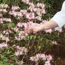 georgia native plants caes newswire wildflower symposium