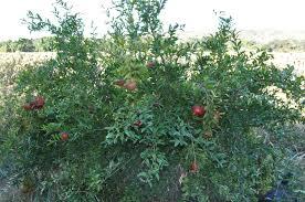 pomegranate the solano sun anr blogs