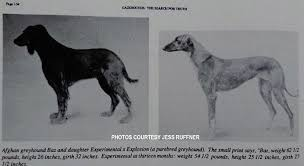 afghan hound racing uk afghan hound times baz afghan hound in greyhound studbook