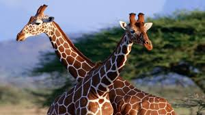 free download high definition giraffe animal couple facebook