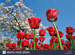 worm u0027s eye view on flowerbed with red tulips and japanese cherry