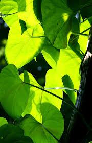 growing sweet potato vines care of ornamental sweet potato