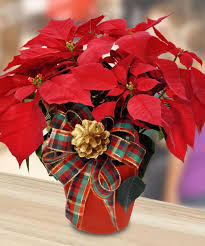 poinsettia long beach poinsettias long beach holiday poinsettias