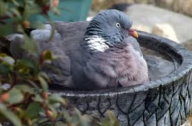 How To Get Rid Of Pigeons On My Roof by Woodpigeons Wildlife Questions Wildlife The Rspb Community