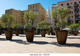 olive tree potted stock photos olive tree potted stock images