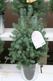 considerations for a living christmas tree