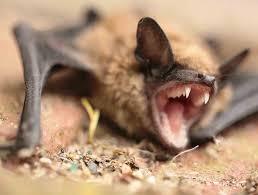 bat removal and control in dallas texas