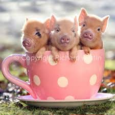 25 cute piglets ideas cute pigs baby teacup